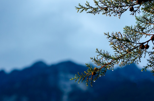 Pine tree that have water drop on seed and leaves with mountain