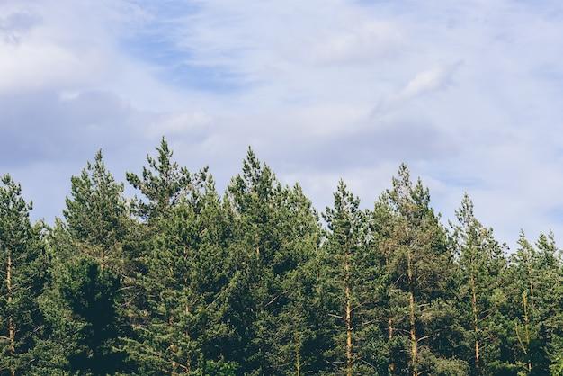 Pine tree tops against a overcast sky