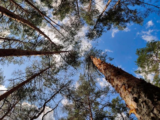 松の幹伸びる松の木はすべて超広角で撮影