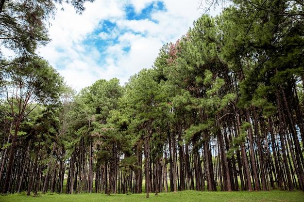 冬は天然の松の木。