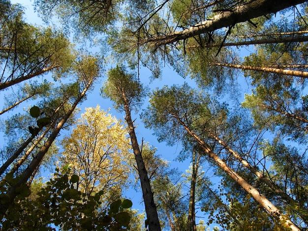 Сосны и золотая береза на фоне голубого неба в осенний солнечный день