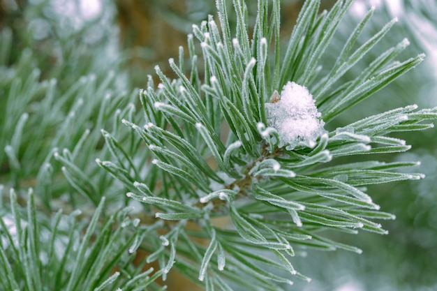 Pine trees covered with frost