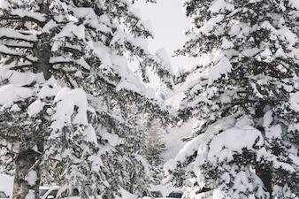 雪に覆われた松の木