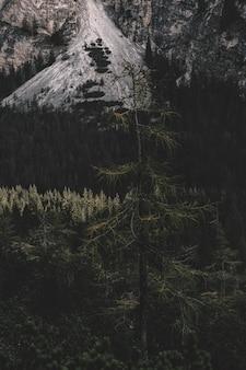 日中の松の木