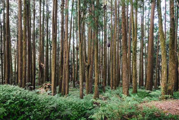 Pine trees in the forest in alishan national forest recreation area in chiayi county