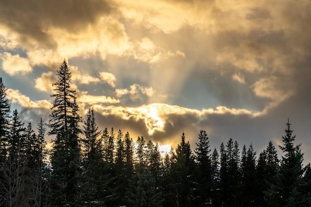 황혼에 소나무 숲입니다. 구름을 지나가는 밝은 햇빛