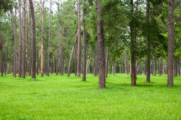 Pine trees forest with green grass