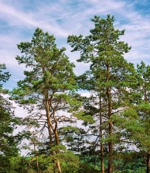 森の中の松の木が青い空を見上げる
