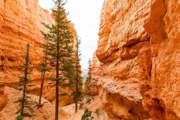사암 협곡의 소나무