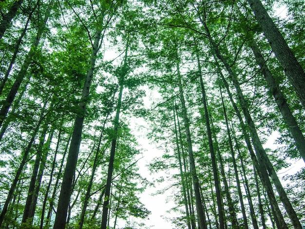日光に対する森の松の木、上昇角の写真