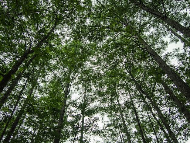 日光、アップライズンアングルの写真に対して森の松の木