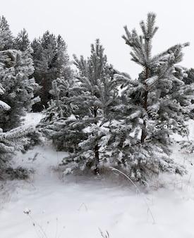 숲에서 소나무. 땅과 나무 위에 하얀 눈이