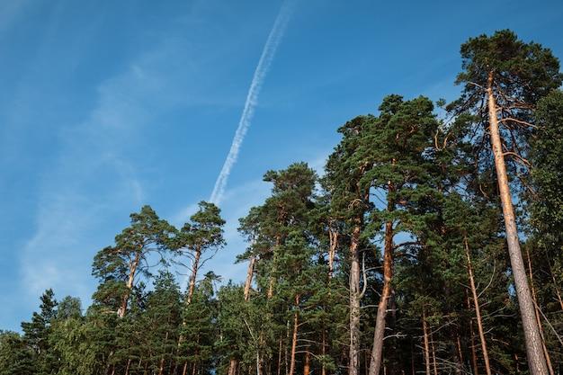 森の中の松の木