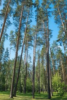Сосны в парке. охрана окружающей среды, тема природы.
