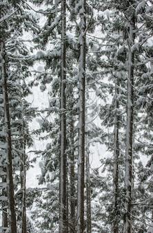 Pine trees in winter forest. forest fragment. japan. nagano. jigokudani monkey park.