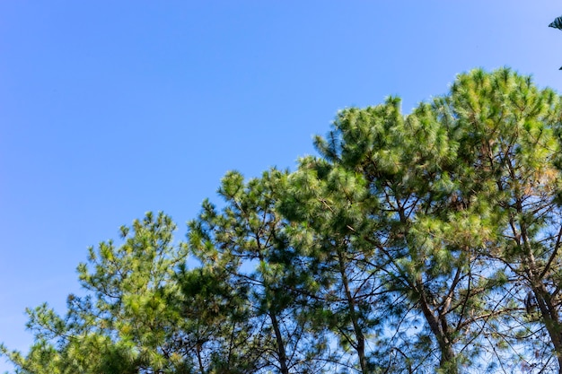 Pine trees with beautiful sky.