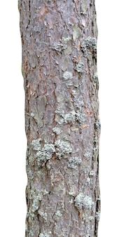 白い背景で隔離の松の幹。デザインの木