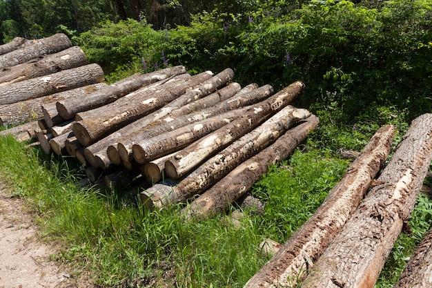 木工用の木材の準備中の松の幹、森の中で松の木の幹を収穫する