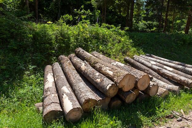 Стволы сосны при подготовке древесины к деревообработке, заготовке стволов сосны в лесу.