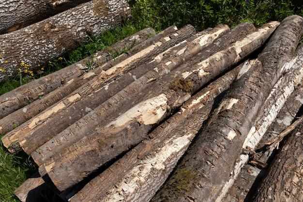 Стволы сосны при заготовке древесины