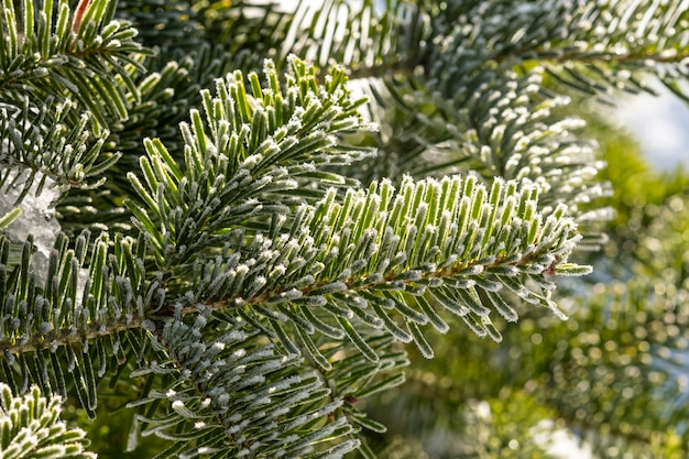 Pine twig with frosted needles close-up. . coniferous background.