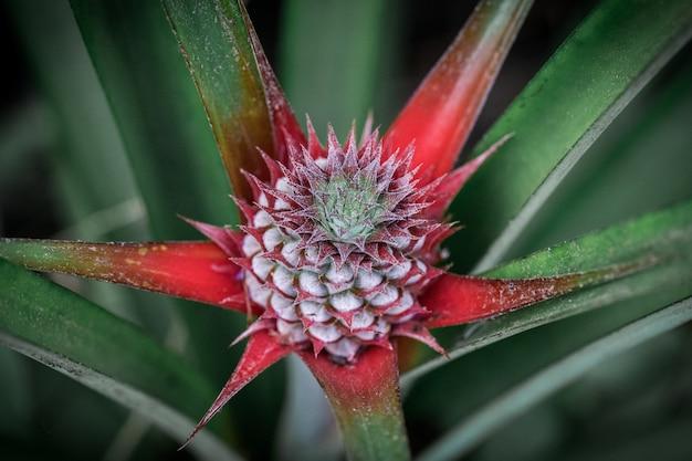 Pineapple is flowering