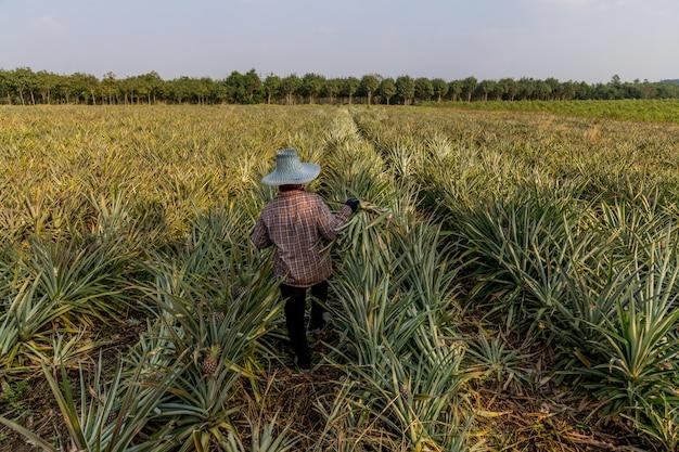 Pineapple is located in pranburi prachuapkirikhan province