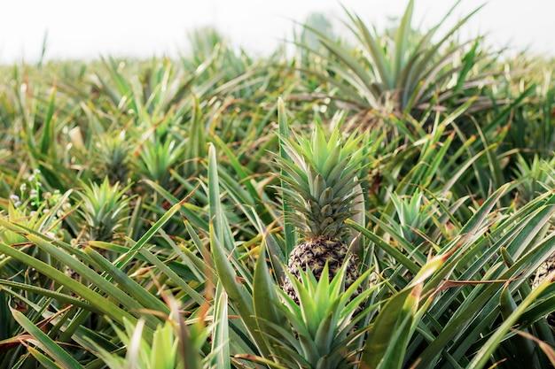 空の農場で日光と木の上のパイナップル。