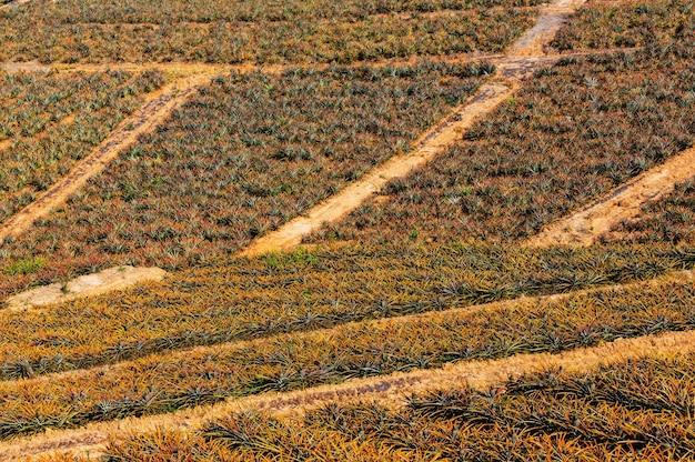 タイ北部のパイナップル農園