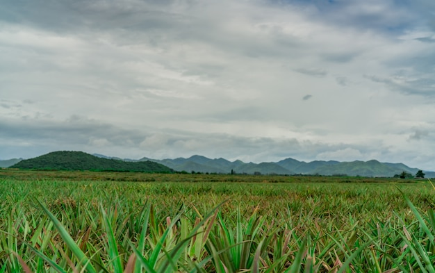 Pineapple plantation. landscape pineapple farm and mountain. plant cultivation. growing pineapple in organic farm. agriculture industry.