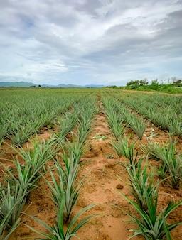 Pineapple plantation. landscape pineapple farm and mountain