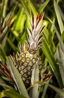 Pineapple plantation in santa rita, paraiba, brazil. brazilian agriculture.