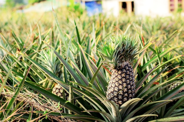 Pineapple on tree with sunlight in farm.