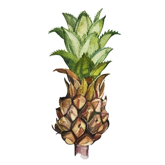 Pineapplelooking at shelves tropical set, watercolor sketch