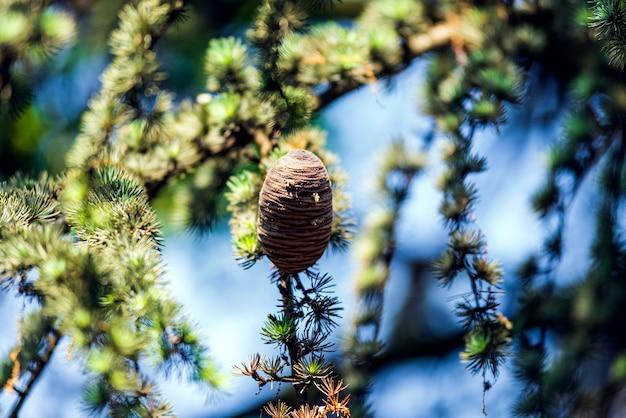 木の上のpinecones