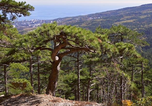 クリミアの山の松