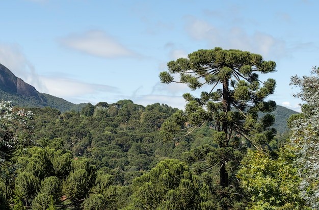 Pinetrees in an altitude rainforest at minas gerais, brazil.