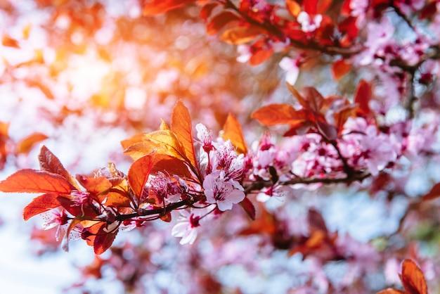 ピンクのアーモンドの桜の花のクローズアップ。春の花
