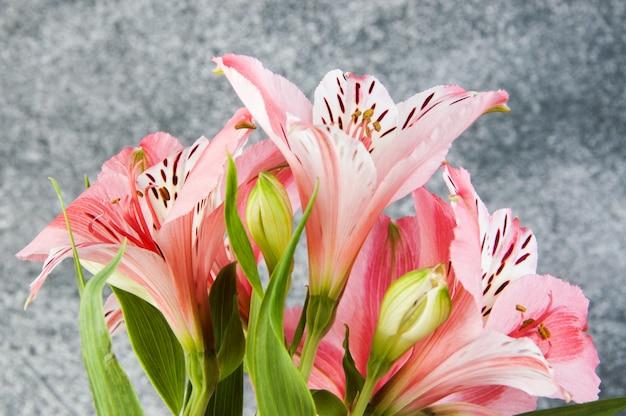 Pink alstroemeria, close up on gray
