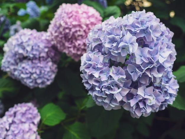 庭のピンクとブルーのアジサイの花