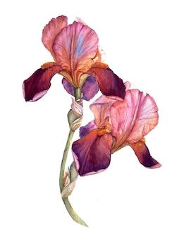 Розовый и бордовый акварельный ирис