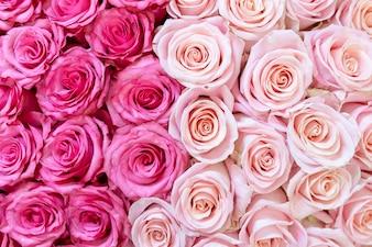 ピンクとクリーム色のバラの背景。