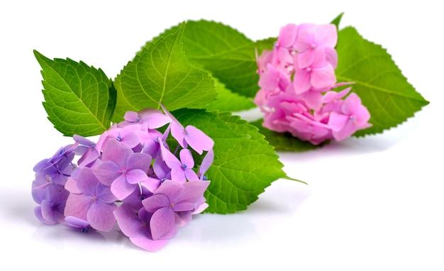 Розовая и лиловая гортензия, изолированные на белом фоне