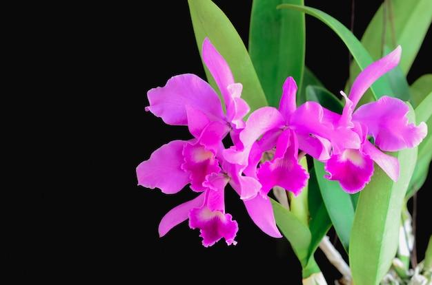 Розовые и фиолетовые орхидеи каттлеи