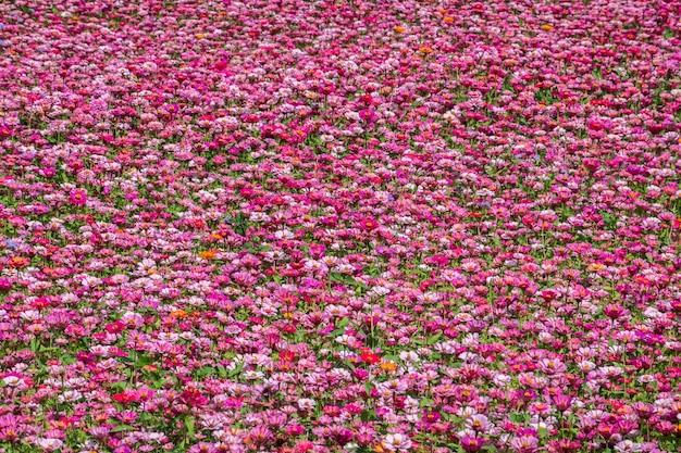 Ферма розовых и фиолетовых цветов космоса на открытом воздухе