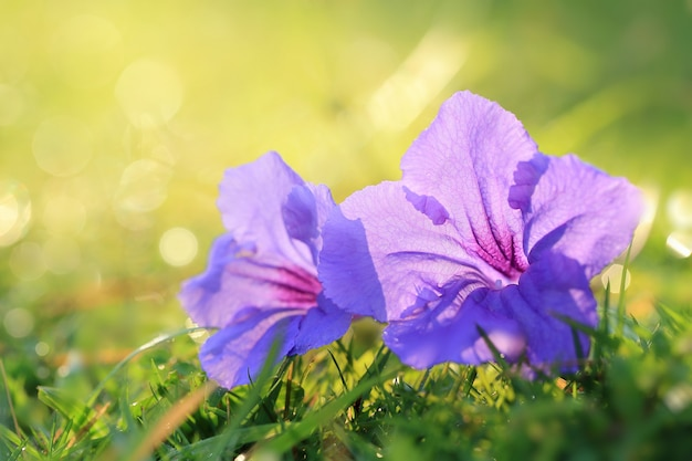Розовый и фиолетовый цветок на зеленой траве. мягкий фокус и теплый свет.