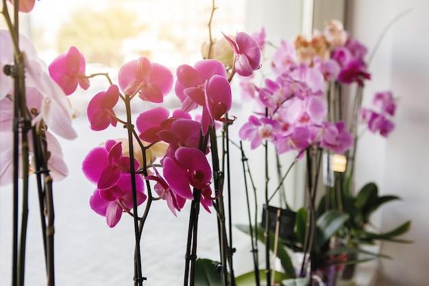 분홍색과 보라색 난초 호접란이 꽃집 창문에서 판매되고 있습니다. 선택적 초점입니다.