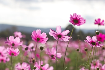 Pink and red cosmos flowers garden background