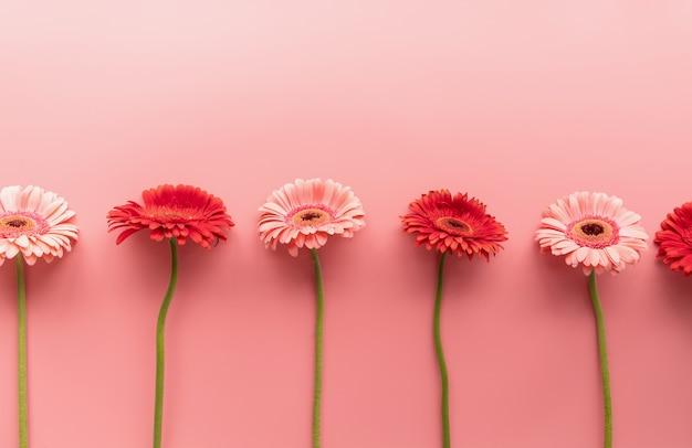 ピンクの背景に生のピンクと赤のガーベラデイジー。シーケンスと対称性。ミニマルなデザインのフラットレイ。パステルカラー