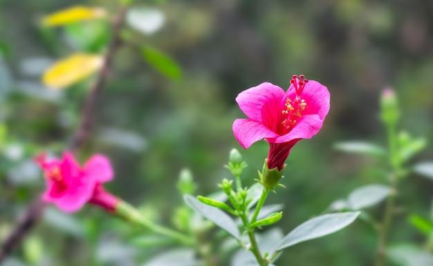木の庭にピンクと赤のハイビスカスローザシネンシスの花